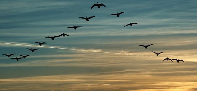leader-birds-flock_37510.jpg